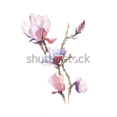 Naklejka Kwiat magnolii wiosna akwarela na białym tle