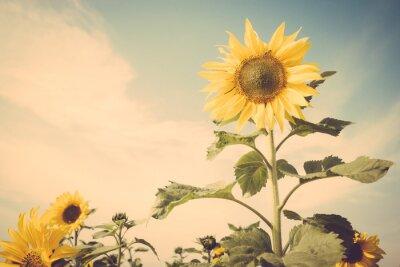 Naklejka kwiat słonecznika pola błękitne niebo rocznika retro