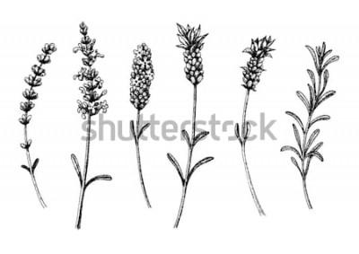 Naklejka Kwiaty lawendy dzikich i odmian. Vintage kwiatowy zestaw. Ręcznie rysowane tuszem szkic. Ilustracji wektorowych.