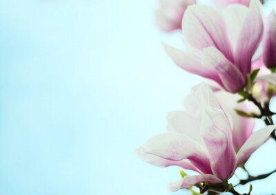 Naklejka kwiaty magnolii na tle niebieskiego nieba