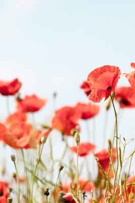 Naklejka Kwiaty maku latem w tle retro spokojny