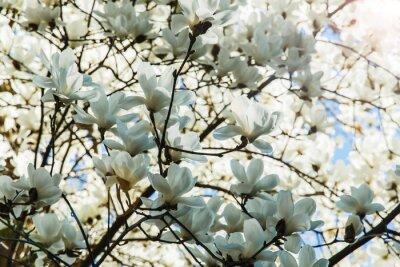 Naklejka Kwitnąca biel kwiaty magnolii w okresie wiosennym