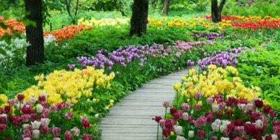 Naklejka Kwitnienia tulipanów w ogrodzie
