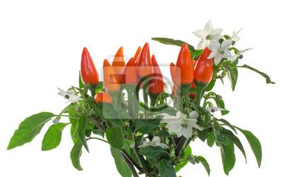 Kwitnienie papryka samodzielnie na białym ozdobne