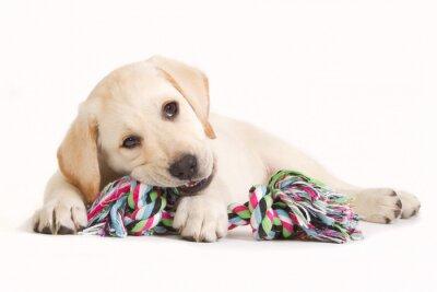 Naklejka Labrador szczeniak gryzie w kolorowym zabawka