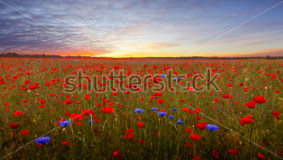 Naklejka Landscape with poppies in Jutland, Denmark at sunset