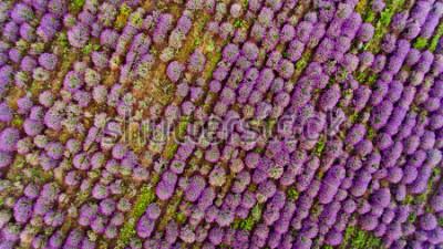 Naklejka Lavender field aerial view. Top view.
