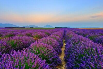 Naklejka Lavender field at sunset