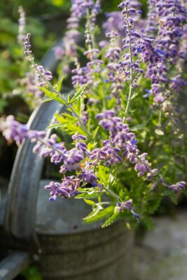 Naklejka Lavender Flowers in Garden Watering Can