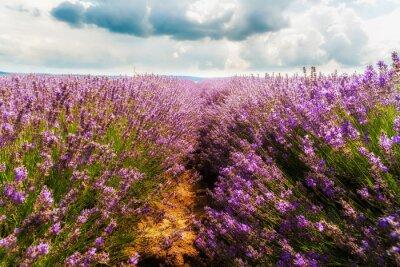 Naklejka lawendowego pola, Plateau de Valensole, Provence, Francja