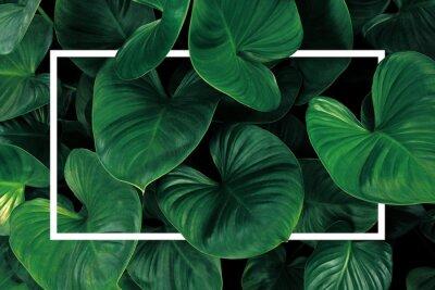Naklejka Leaf pattern nature frame layout of heart shaped green leaves Homalomena tropical foliage plant on dark background with white frame border.