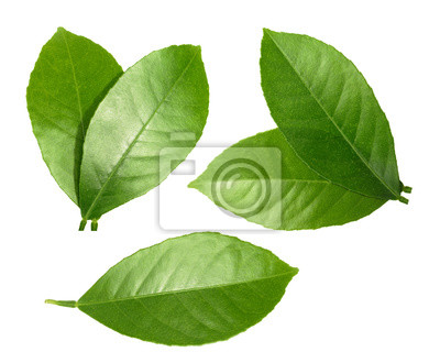 Naklejka Lemon liści samodzielnie na białym tle