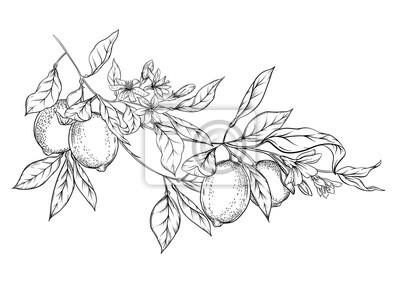 Naklejka Lemon tree branch with lemons, flowers and leaves. Element for design. Outline hand drawing vector illustration. Isolated on white background..