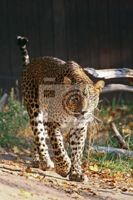 Leopard Cejlonu