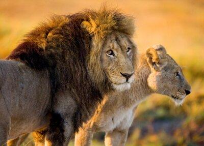 Naklejka Lew i lwica na sawannie. Zambia.