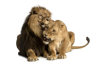 Naklejka Lew i lwica przytulanie, kłamstwa, Panthera leo, izolowane