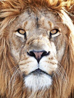 Naklejka Lew (Panthera leo)