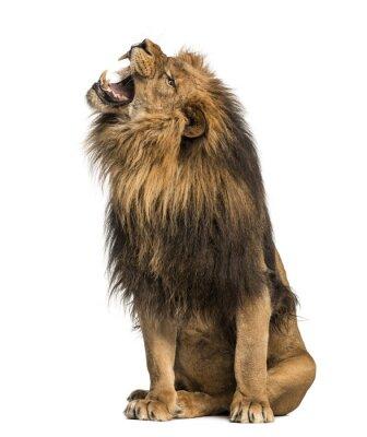 Naklejka Lew ryczący, siedzi, Panthera Leo, 10 lat, samodzielnie