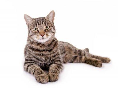 Naklejka Leżący, pręgowany kot