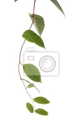 liana plant