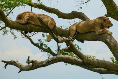 Naklejka Lion 6