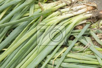 Naklejka Liść cebula - Allium fistulosum