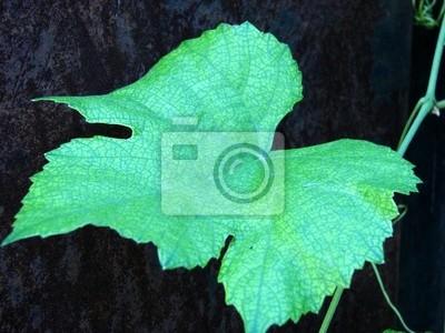 liści winorośli