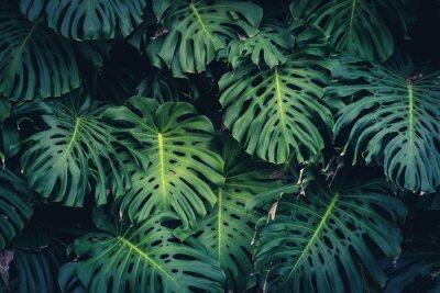 Naklejka Liście Monstera Philodendron - roślina lasu tropikalnego