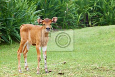 Little calf grazing on the green grass