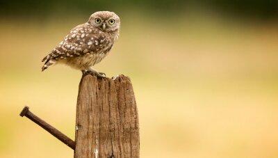 Naklejka Little owl on an old post