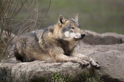 Naklejka Loup gris