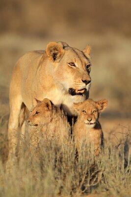 Naklejka Lwica z młodymi młode Lew (Panthera leo) w świetle wczesnego poranka, Kalahari, Republika Południowej Afryki.