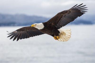 Naklejka Łysy orzeł unoszący się nad zatoką Alaska niedaleko Homera