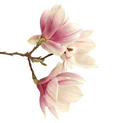 Naklejka magnolia