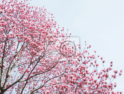 Naklejka magnolia drzewa kwiat