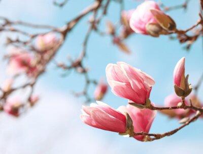 Naklejka Magnolia kwiat drzewa na wiosnę