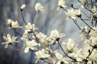 Naklejka Magnolia kwiaty