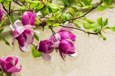 Naklejka Magnolia kwiaty na tle rozmazane