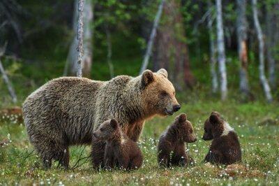 Naklejka Matka i młode niedźwiedzia