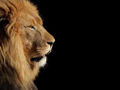 Naklejka Mężczyzna lwa afrykańskiego na czarno
