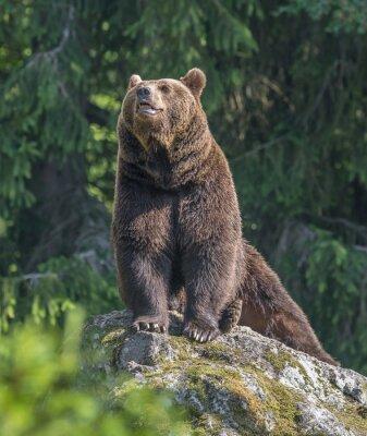 Naklejka mężczyzna niedźwiedź brunatny