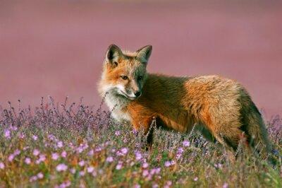 Naklejka Młoda Red Fox