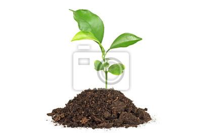 Naklejka Młoda roślina pomelo w glebowej czarno na białym tle