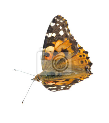 Motyl na białym tle