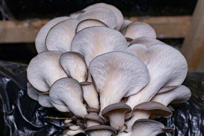 Naklejka Mushrooms pattern background for design and decoration. Edible oyster mushrooms.