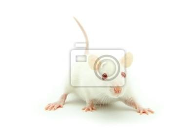 Mysz biała