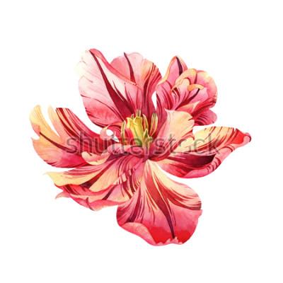 Naklejka Na białym tle akwarela różowy tulipan na białym tle