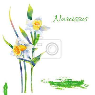 Naklejka Narcissus kwiat, ilustracji akwarela na białym tle. Wektor ręcznie rysowane ilustracji. Elementów projektu kwiatu.