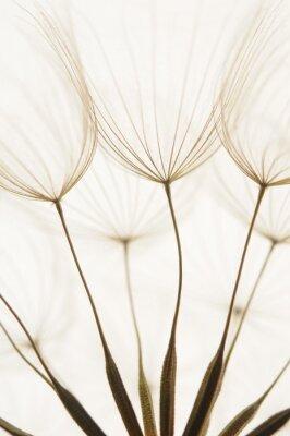 Naklejka nasiona mniszka lekarskiego
