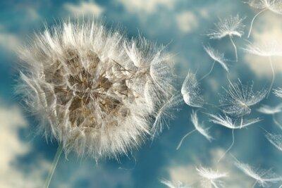 Naklejka Nasiona utraty Dandelion w wiatrem